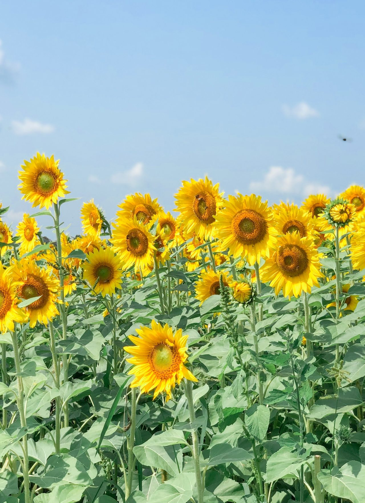 Sunflower Field at Jacquemin Farms